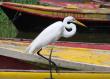 Pelican on Black River