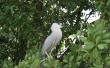 Exotic bird on Black River